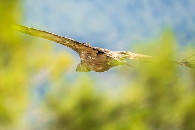 Vale gier (gyps fulvus) tijdens de vlucht tussen de bomen, alcoy, valenciaanse gemeenschap, spanje.