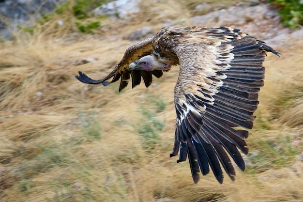 Vale gier gyps fulvus tijdens de vlucht