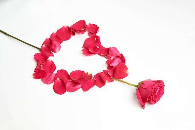 Valentijnsdag bloemen. roze roze bloem en bloemblaadjes op witte achtergrond met kopie ruimte, close-up