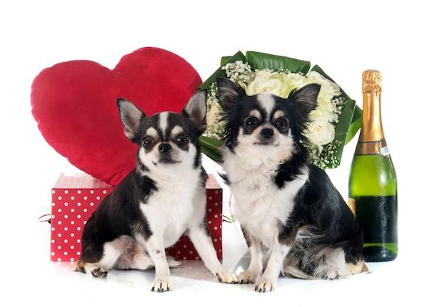 Valentijnsdag en chihuahua