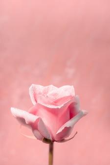 Valentijnsdag, rozen op de dag en de maand van liefde