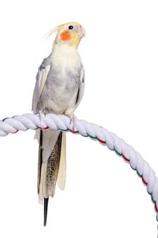 Valkparkiet die op een kabel neerstrijkt - nymphicus-hollandicus op geïsoleerd wit