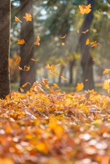 Vallende droge gele esdoorn bladeren in de stralen van een felle zon