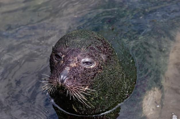 Van bovenaf schattige grote zeehond bedekt met vuil dat in het water zwemt