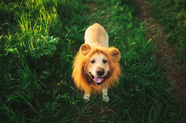Van bovenaf van lachwekkende beige hond met neprode manen die tong uitblussen die op groene weide loopt