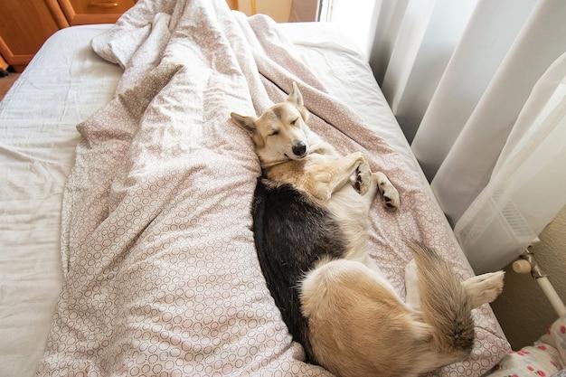 Van bovenaf vreedzame herdershond rust op bed op deken met geklede ogen
