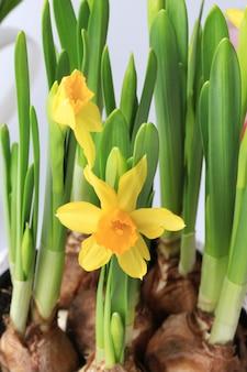 Van de de lentegele narcissen decoratie gevoelige selectieve zachte nadruk als achtergrond