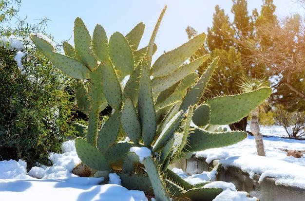 Van de de woestijnsneeuw van arizona het weerweer in cactus die in sneeuw wordt behandeld.