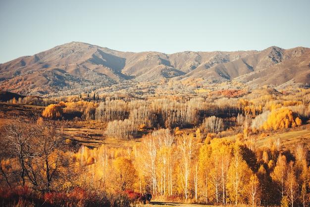 Van de het oosten het kazachstan van de herfstlandschappen gele bomen bos houten hooggebergte altay