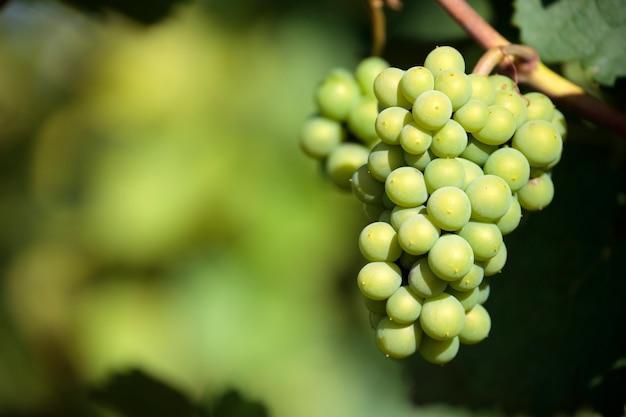 Van de wijndruiven van sauvignon blanc witte de wijngaard bordeaux frankrijk close-up