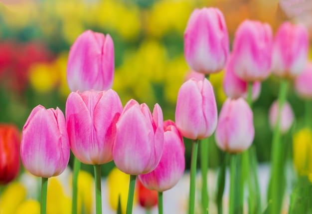Van dichtbij bloeien roze tulpen prachtig in de natuurlijke tuinen op een zachte zonlichtdag. tulp flowers of love