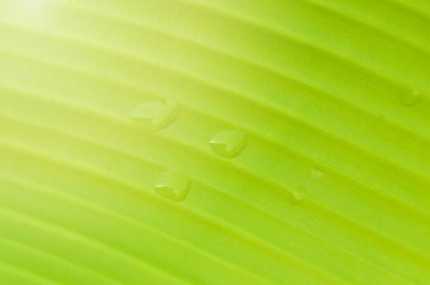 Van het achtergrond banaanblad dichte omhooggaand van groene bladbanaan met druppeltje