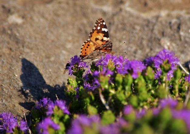 Vanessa cardui vlinder die stuifmeel verzamelt op mediterrane tijmstruik