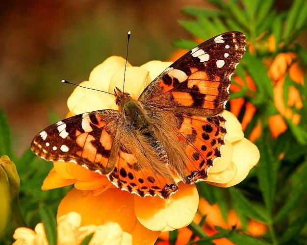 Vanessa vlinder insect mot geschilderde dame cardui