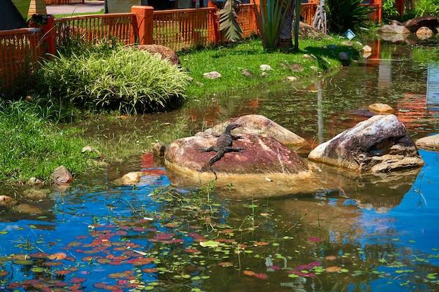 Varan warmt zich op op de rotsen in het meer van het park.