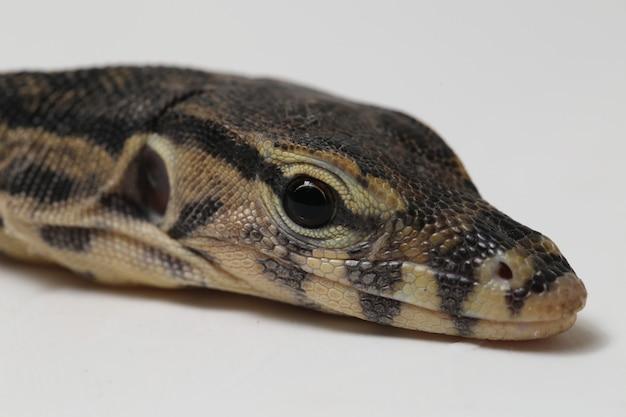 Varanus salvator aziatische watermonitor die op een wit wordt geïsoleerd