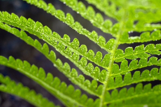 Varen. macrofoto van groene varenbloemblaadjes. de plantenvaren bloeide. detailopname. bovenaanzicht