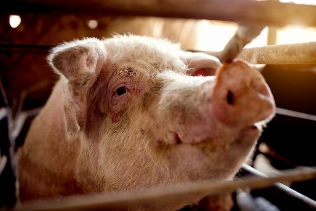 Varken bij varkensstal hongerig wachten op voedsel.