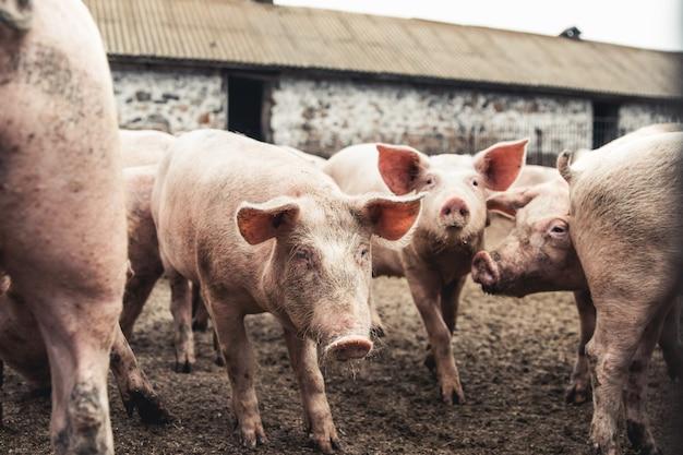 Varken op de boerderij. slechte omstandigheden, huisdieren