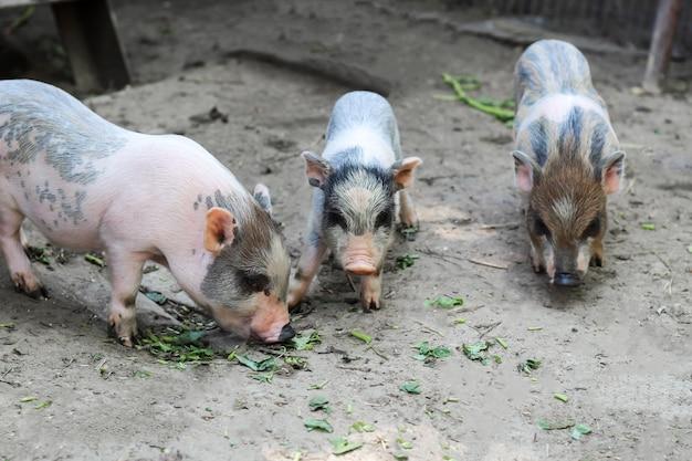 Varkens gaan eten. kleine biggen wachten op voer in de boerderij. kleine biggetjes die buiten spelen