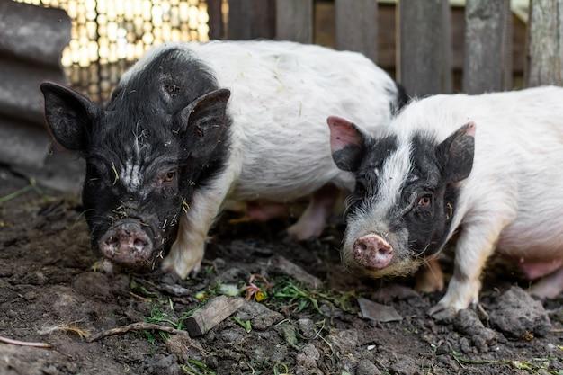 Varkens in de varkensstal