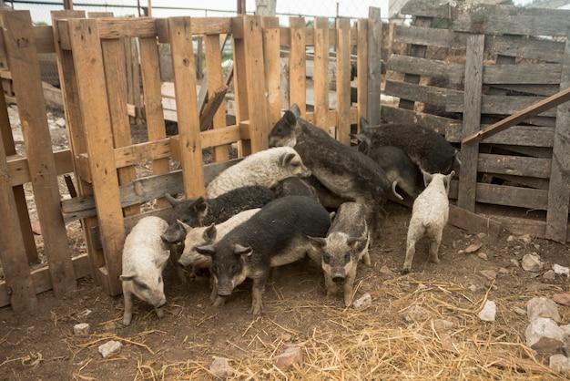 Varkens in het varkenshok van een boerderij