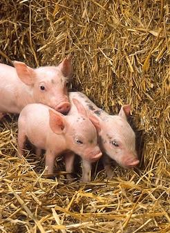Varkens schattige baby biggen stro boerderij hooi