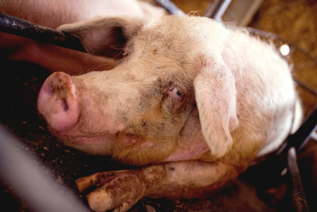 Varkensportret bij varkensstal.