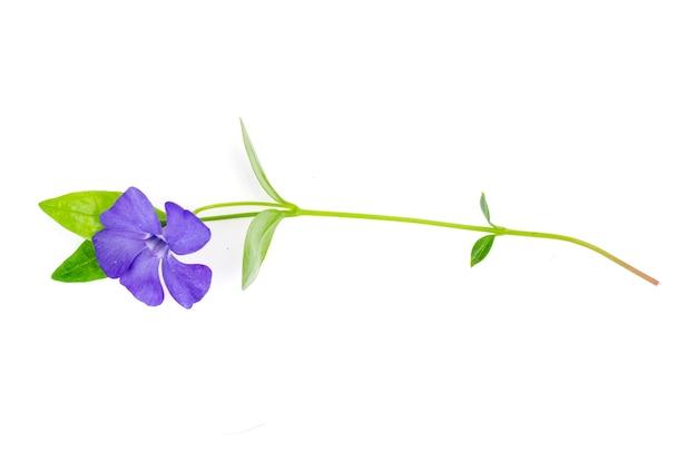 Vaste plant bodembedekker vinca met blauwe bloemen studio photo