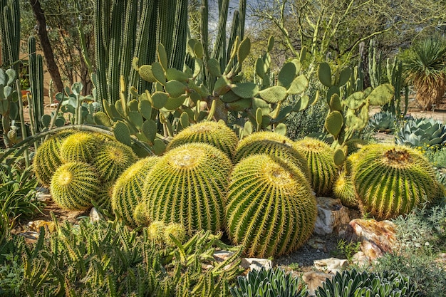 Vat cactus