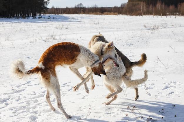 Vecht tegen twee jachthonden van een hond en een grijze wolf in een besneeuwd veld.