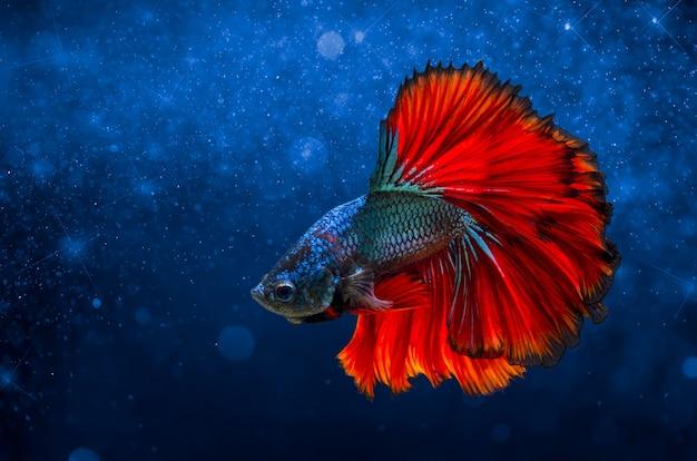 Vechten vis rood blauw lichte achtergrond met bokeh