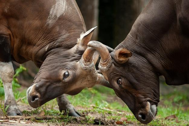 Vechtende banteng, rode stier in regenwoud van thailand.