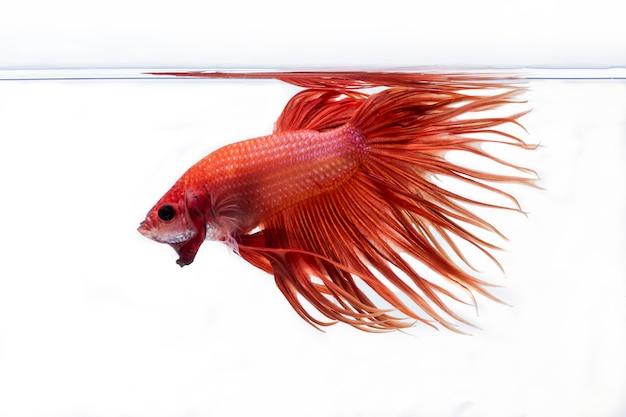 Vechtende vis (betta splendens) vis met een mooie