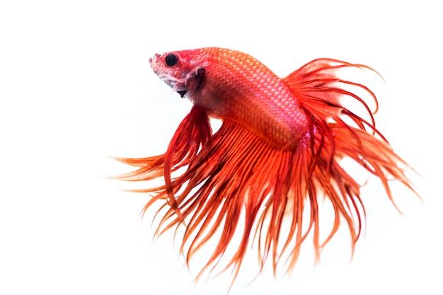 Vechtende vis (betta splendens)