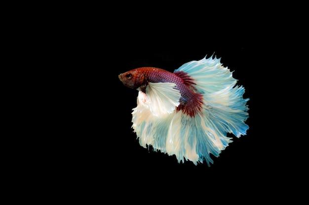 Vechtende vis geïsoleerd op zwarte achtergrond