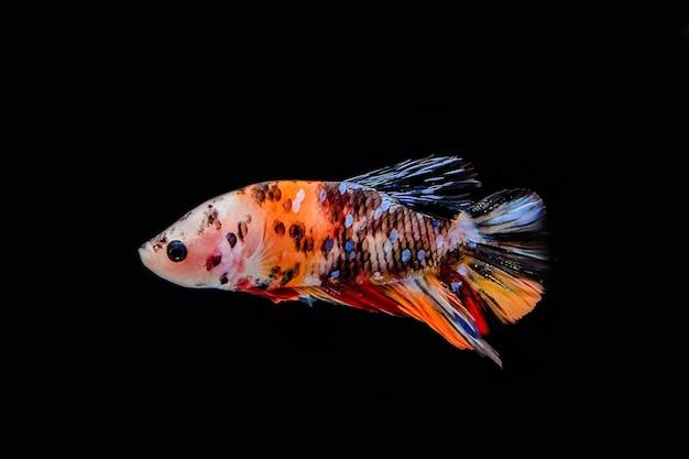 Vechtende vissen die op zwarte achtergrond worden geïsoleerd
