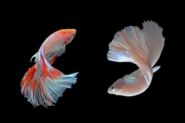 Vechtende vissen