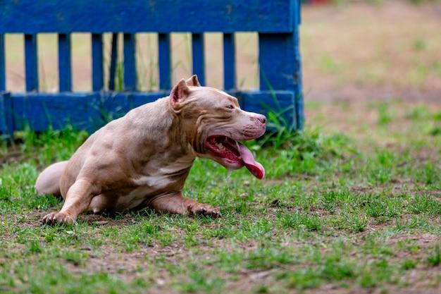 Vechthond in het park voor een wandeling, bull