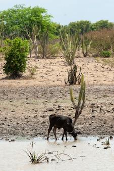 Vee drinkwater uit een waterplas in de cariri-regio in boqueirao paraiba brazilië