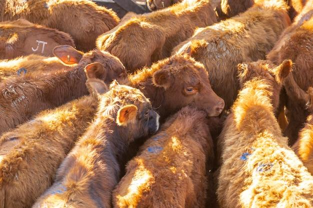 Vee in opsluiting, ossen, koeien, zonnige dag.