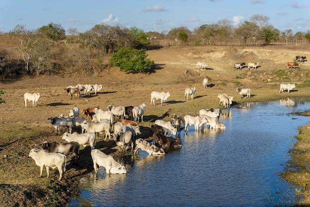 Vee op de vlucht voor droogte en drinkwater in de pirari-rivier jacarau paraiba brazilië