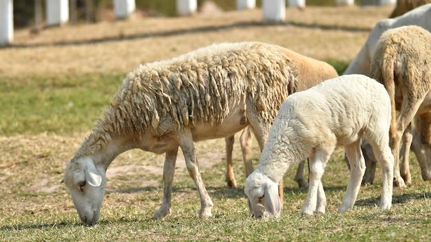 Veeboerderij, kudde schapen