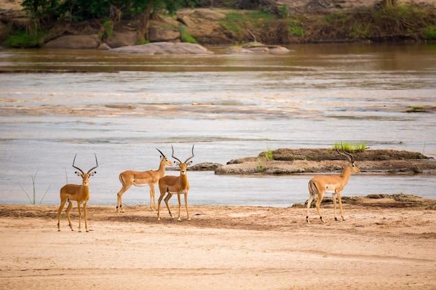 Veel antilopen staan in de buurt van de rivier