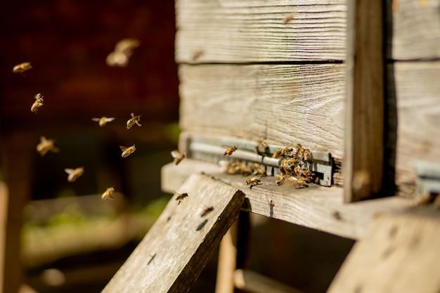 Veel bijen keren terug naar de bijenkorf en gaan de bijenkorf binnen met verzamelde bloemennectar en stuifmeel. zwerm bijen die nectar van bloemen verzamelen. gezonde biologische boerderijhoning.
