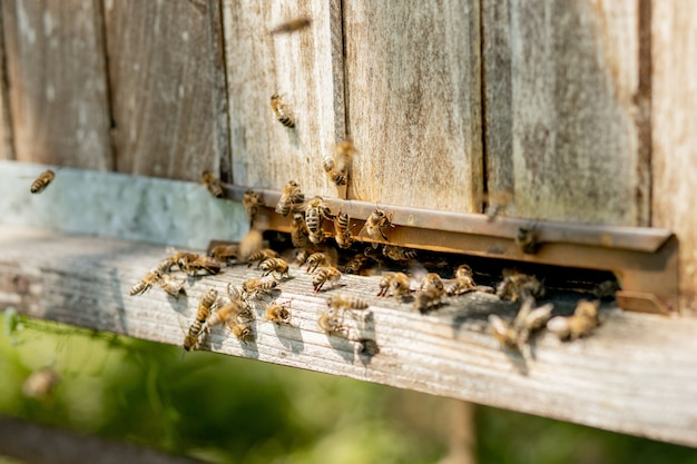 Veel bijen keren terug naar de bijenkorf en gaan de bijenkorf binnen met verzamelde bloemennectar