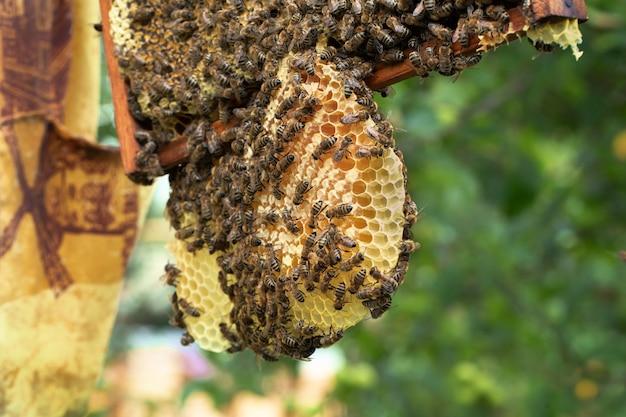 Veel bijen werken aan honingraten