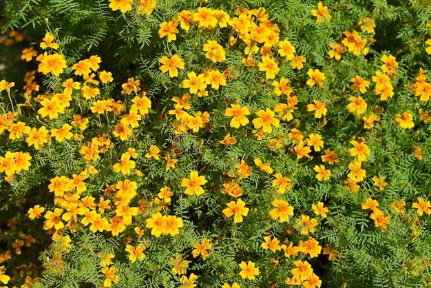 Veel bloeiende goudsbloembloemen in de herfst