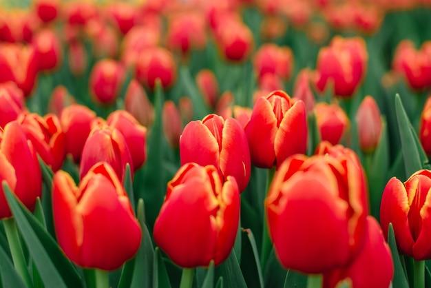 Veel bloeiende toppen van rode tulpen