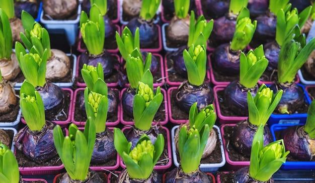 Veel bloemenhyacinten in potten worden verkocht in een bloemenwinkel. selectieve aandacht. natuur.